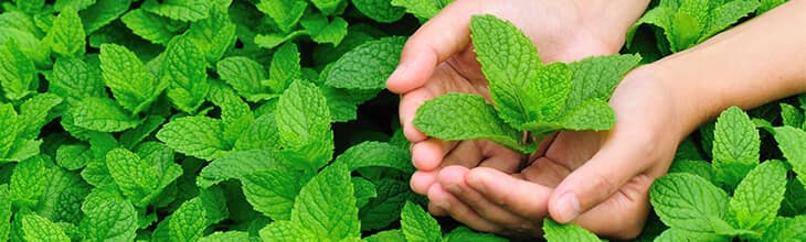 Peppermint for hickey removal